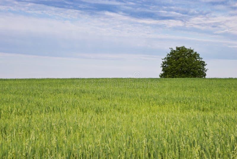 Δέντρο και πράσινο πεδίο των βρωμών στοκ εικόνα
