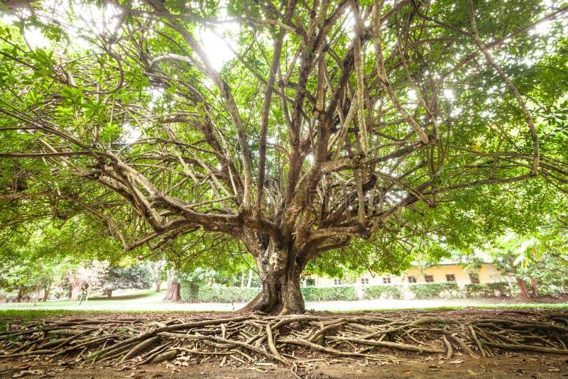 Δέντρο και ρίζες στοκ εικόνες