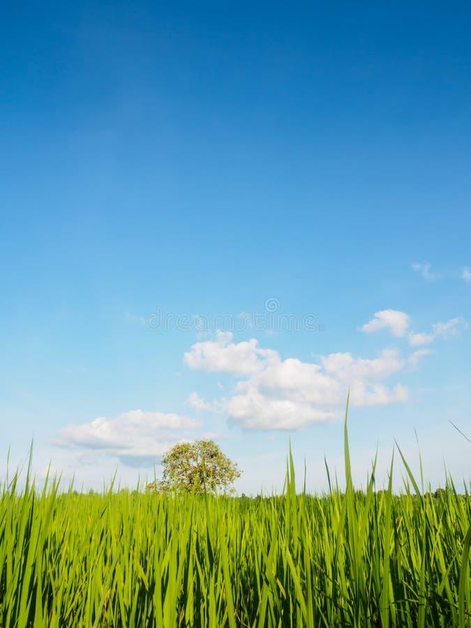 Δέντρο και ρύζι fram στοκ εικόνες