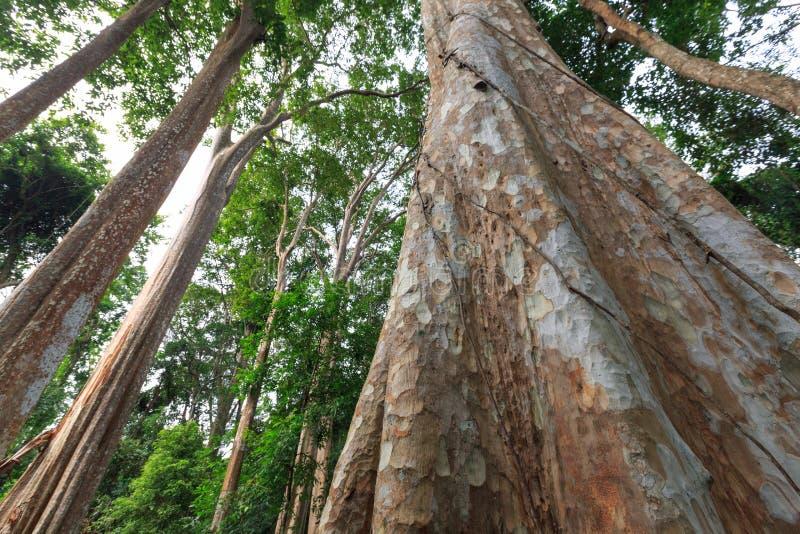 Δέντρο και φλοιός Kurz calyculata Lagerstroemia, στην Ταϊλάνδη στοκ φωτογραφίες