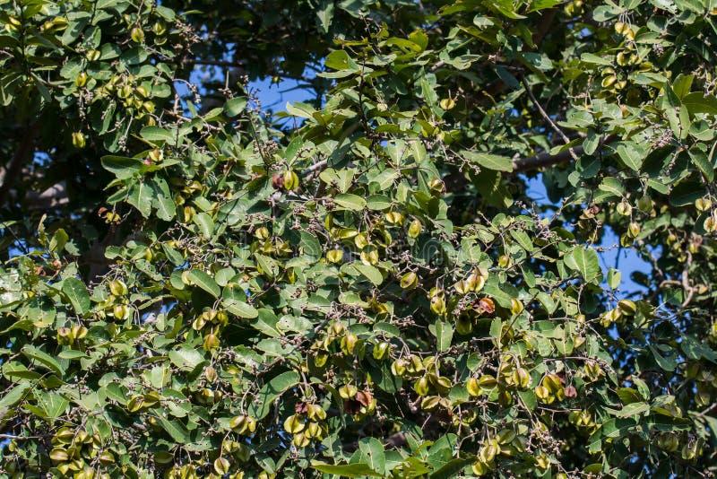 Δέντρο και φρούτα arjuna του Arjun Terminalia στοκ φωτογραφίες με δικαίωμα ελεύθερης χρήσης