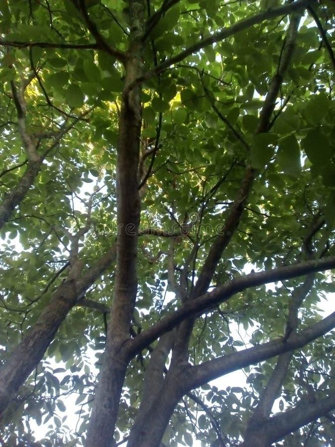 Δέντρο καρυδιών o Πράσινος βγάζει φύλλα brampton στοκ φωτογραφίες με δικαίωμα ελεύθερης χρήσης