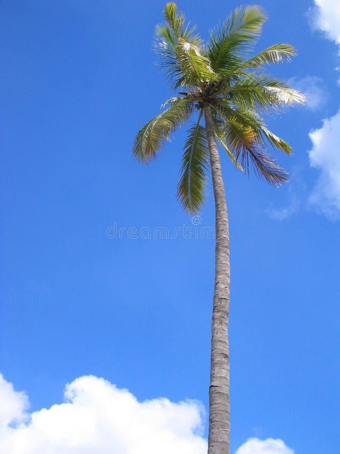 δέντρο καρύδων στοκ φωτογραφίες