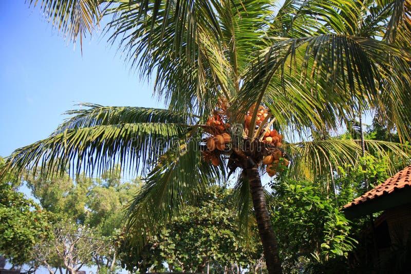 δέντρο καρύδων στοκ φωτογραφίες με δικαίωμα ελεύθερης χρήσης