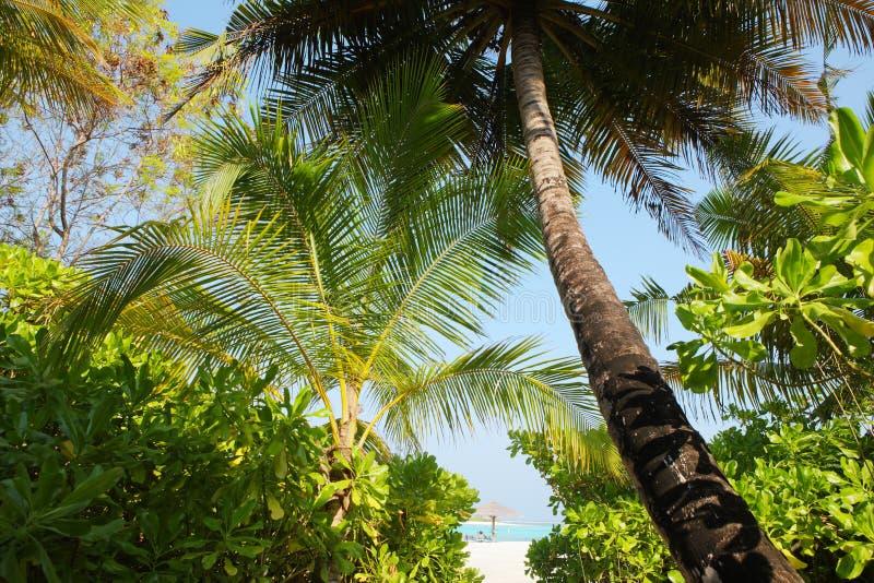 Δέντρο καρύδων στην παραλία των Μαλδίβες στοκ φωτογραφίες με δικαίωμα ελεύθερης χρήσης