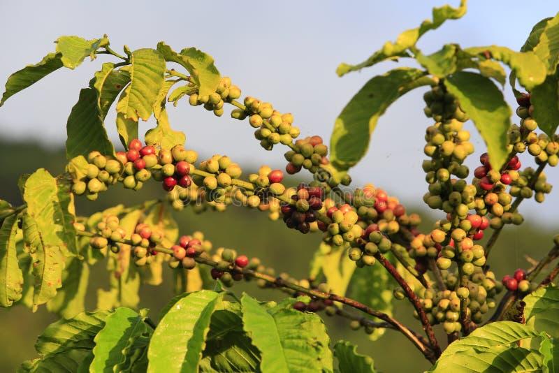 Δέντρο καφέ με το φασόλι καφέ στοκ φωτογραφία με δικαίωμα ελεύθερης χρήσης