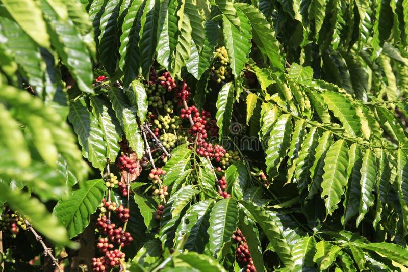 Δέντρο καφέ με το φασόλι καφέ στοκ εικόνα