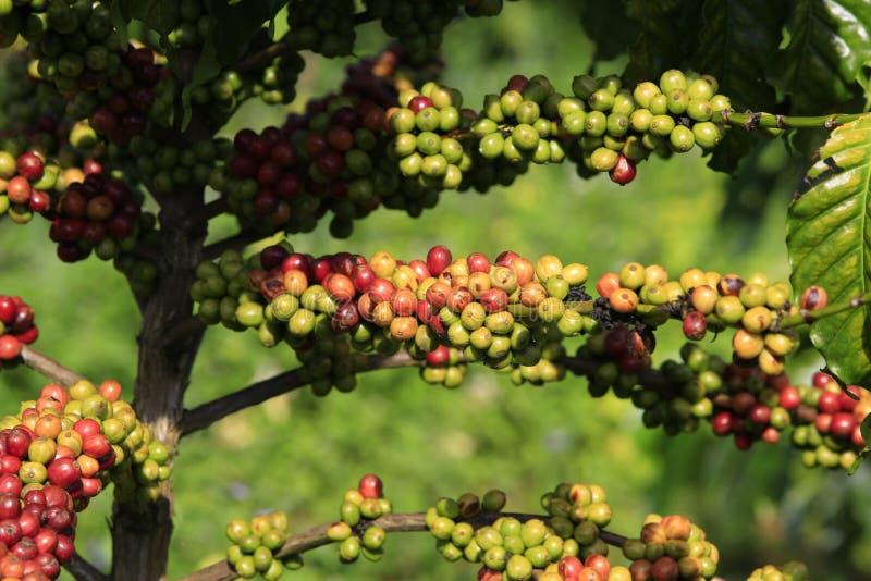 Δέντρο καφέ με το φασόλι καφέ στοκ φωτογραφία