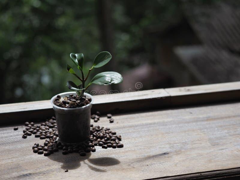 Δέντρο καφέ στο δοχείο στοκ εικόνα με δικαίωμα ελεύθερης χρήσης