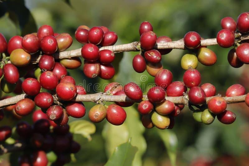 Δέντρο καφέ στο δέντρο cofffe στη φυτεία καφέδων στοκ φωτογραφία με δικαίωμα ελεύθερης χρήσης