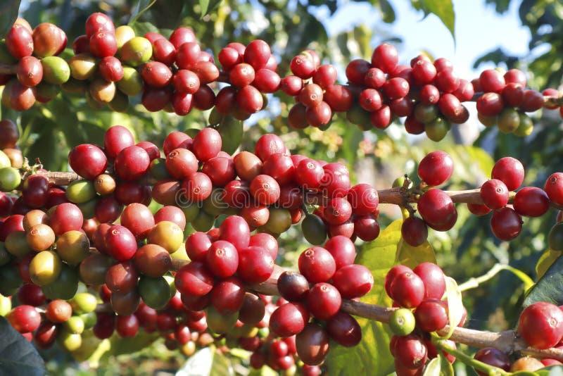 Δέντρο καφέ στο δέντρο cofffe στη φυτεία καφέδων στοκ φωτογραφίες
