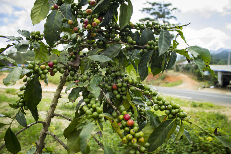 Δέντρο καφέ στοκ εικόνα με δικαίωμα ελεύθερης χρήσης