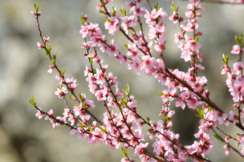 δέντρο κερασιών ανθών στοκ φωτογραφία