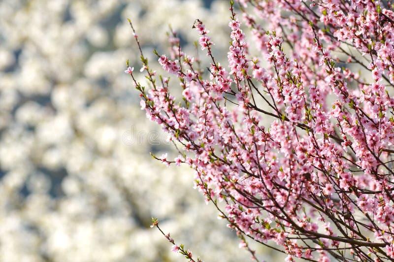 δέντρο κερασιών ανθών στοκ φωτογραφία με δικαίωμα ελεύθερης χρήσης