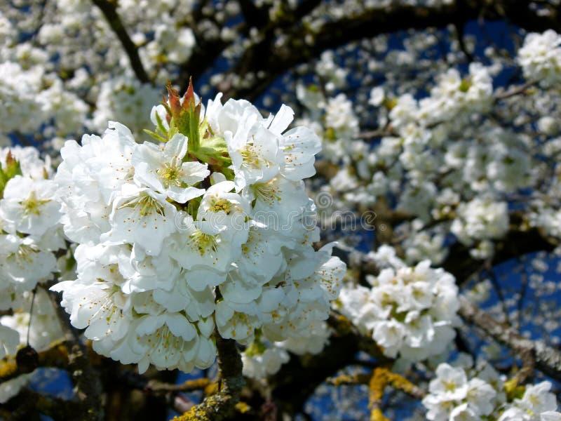 Δέντρο κερασιών με τα λαμπρούς άσπρους λουλούδια και το μπλε ουρανό στοκ εικόνες
