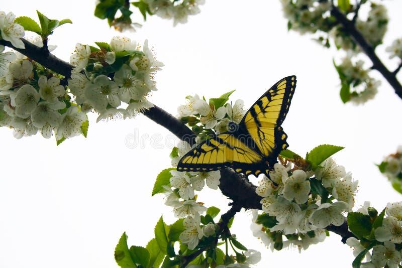 δέντρο κερασιών πεταλούδων ανθών swallowtail στοκ εικόνα