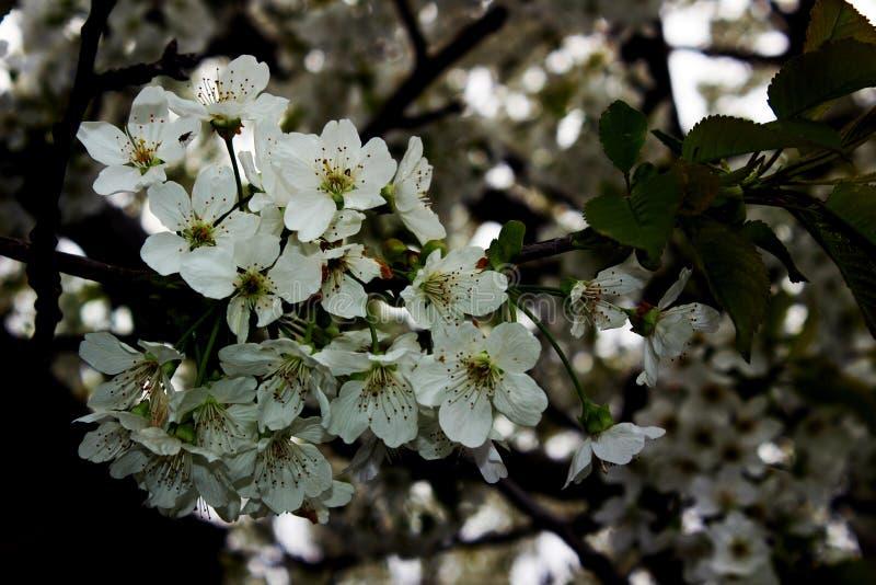 Δέντρο κερασιών την άνοιξη στοκ φωτογραφίες με δικαίωμα ελεύθερης χρήσης