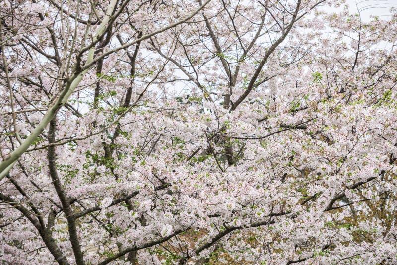 Δέντρο κερασιών Yoshino στην άνθιση στοκ φωτογραφίες με δικαίωμα ελεύθερης χρήσης