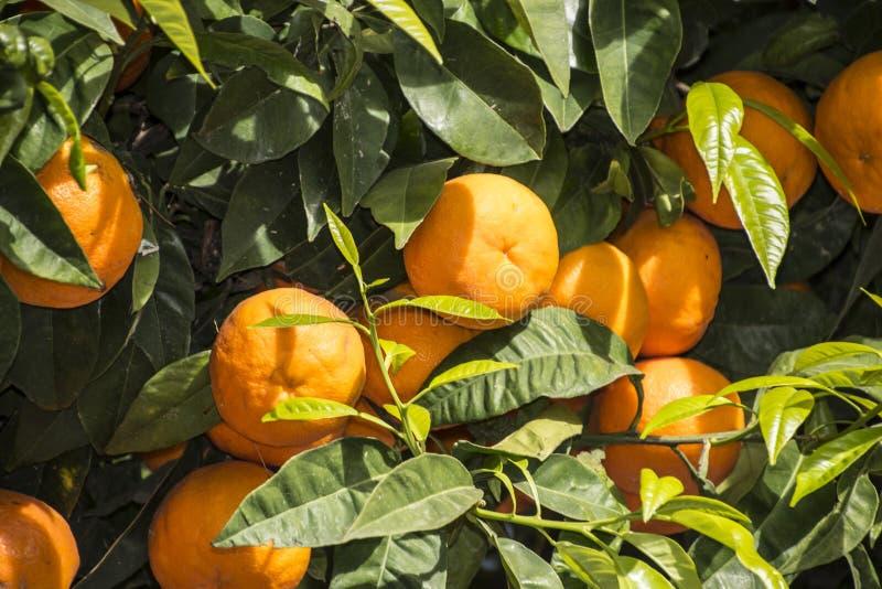 Δέντρο κινεζικής γλώσσας με τα ώριμα φρούτα Πορτοκαλί δέντρο κινεζικής γλώσσας tangerines στοκ φωτογραφίες