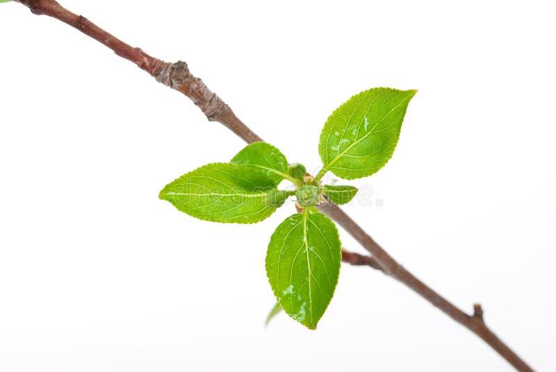 δέντρο κλάδων μήλων στοκ φωτογραφία