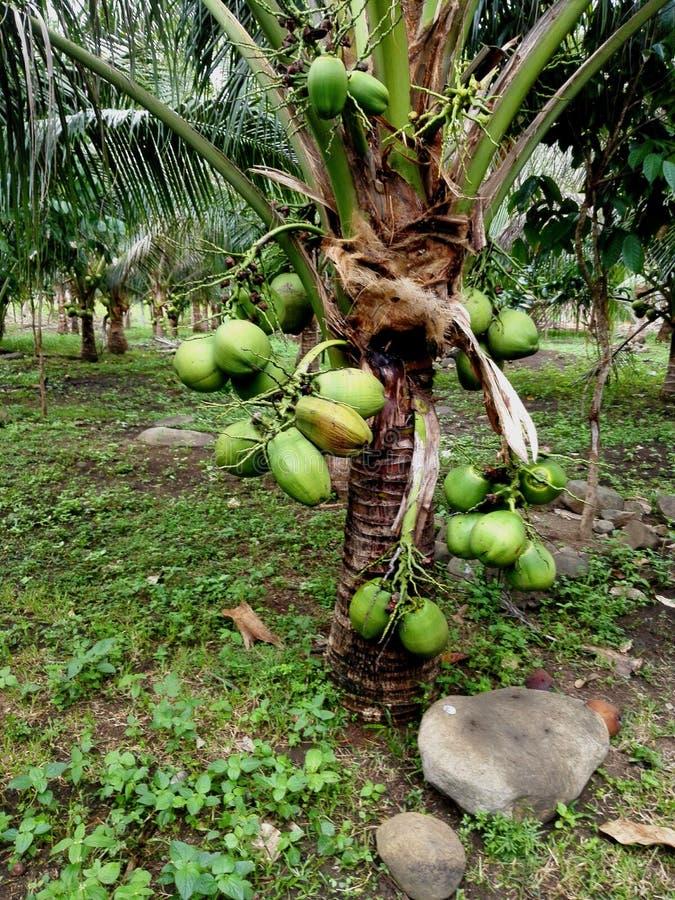 Δέντρο κοκοφοίνικα νάνος στοκ φωτογραφίες