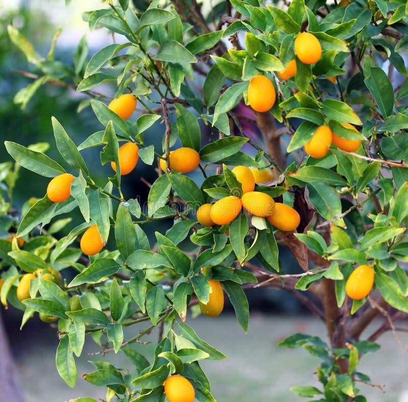 Δέντρο κουμκουάτ στοκ φωτογραφίες