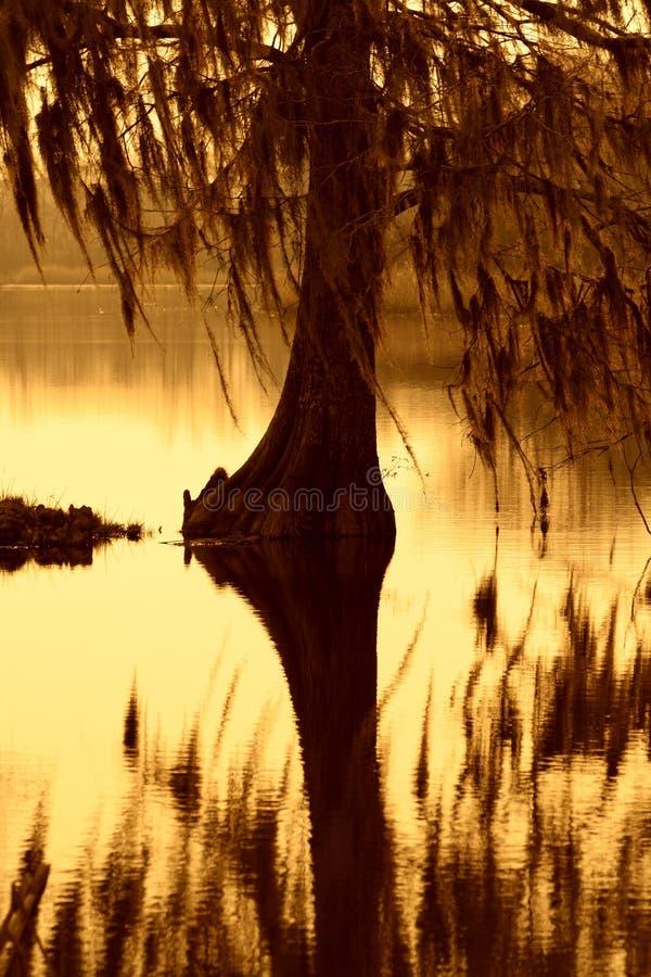 Δέντρο κυπαρισσιών ντυμένο με το βρύο στη νότια Καρολίνα στοκ φωτογραφίες