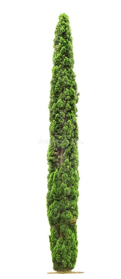 Δέντρο κυπαρισσιών στο άσπρο υπόβαθρο στοκ εικόνα με δικαίωμα ελεύθερης χρήσης