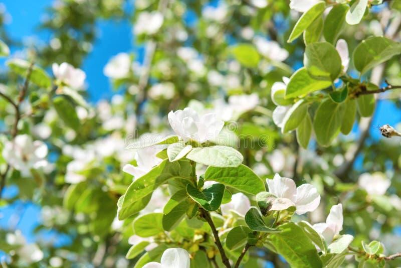 Δέντρο κυδωνιών ανθών με τα άσπρα λουλούδια στοκ εικόνα