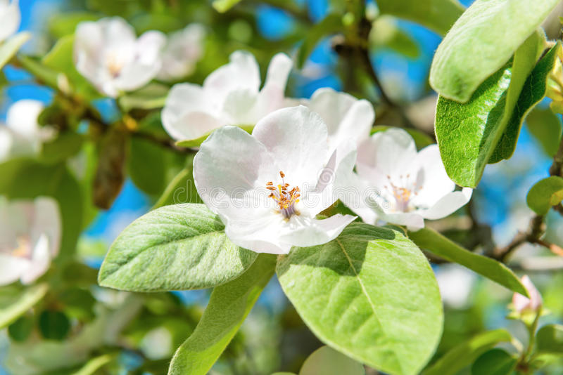 Δέντρο κυδωνιών ανθών με τα άσπρα λουλούδια στοκ εικόνες