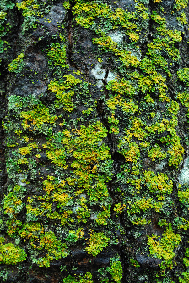 δέντρο λειχήνων φλοιών στοκ φωτογραφίες