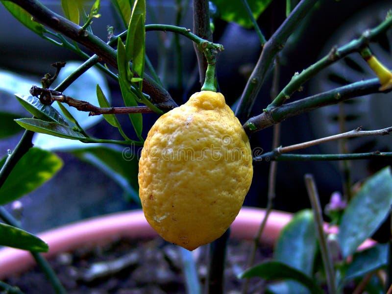 δέντρο λεμονιών
