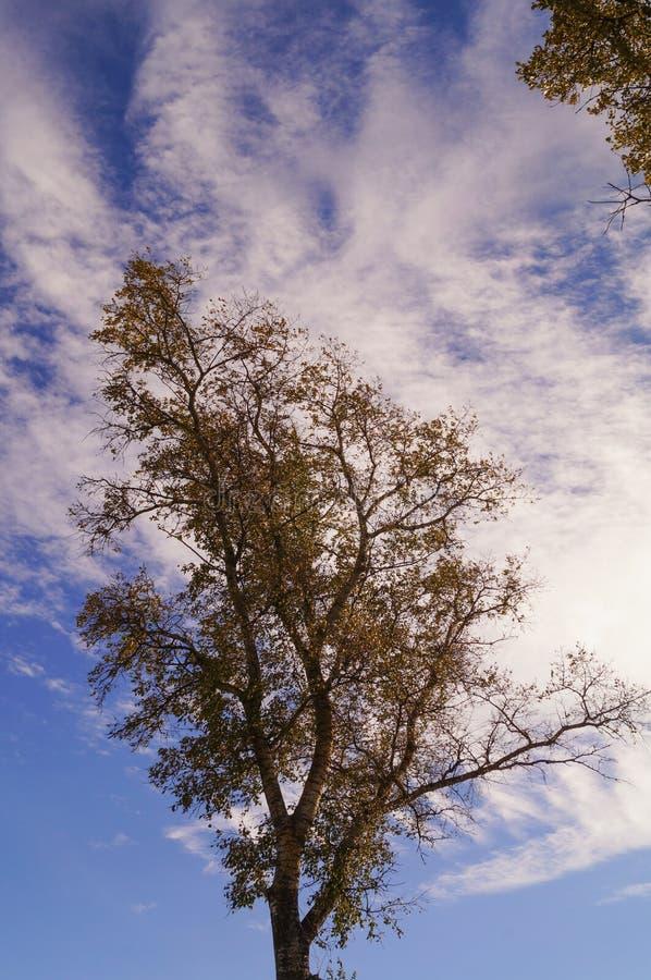 Δέντρο λευκών το φθινόπωρο με τα φύλλα και τον ουρανό στοκ εικόνα