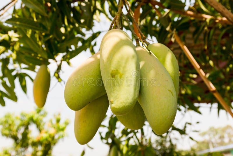 Δέντρο μάγκο με το σύνολο των φρούτων στοκ εικόνες με δικαίωμα ελεύθερης χρήσης