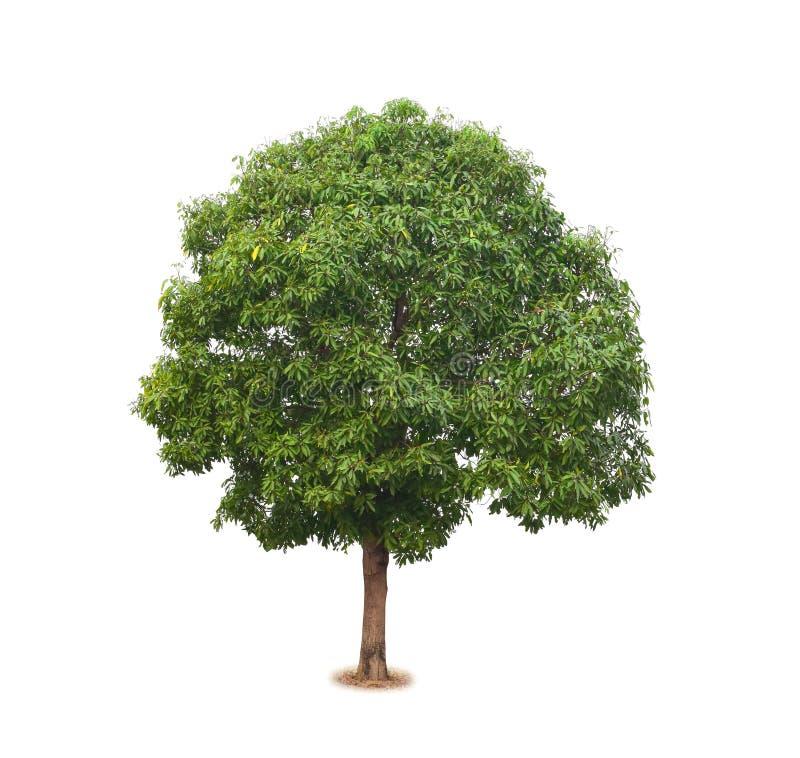 Δέντρο μάγκο που απομονώνεται στο λευκό στοκ φωτογραφία
