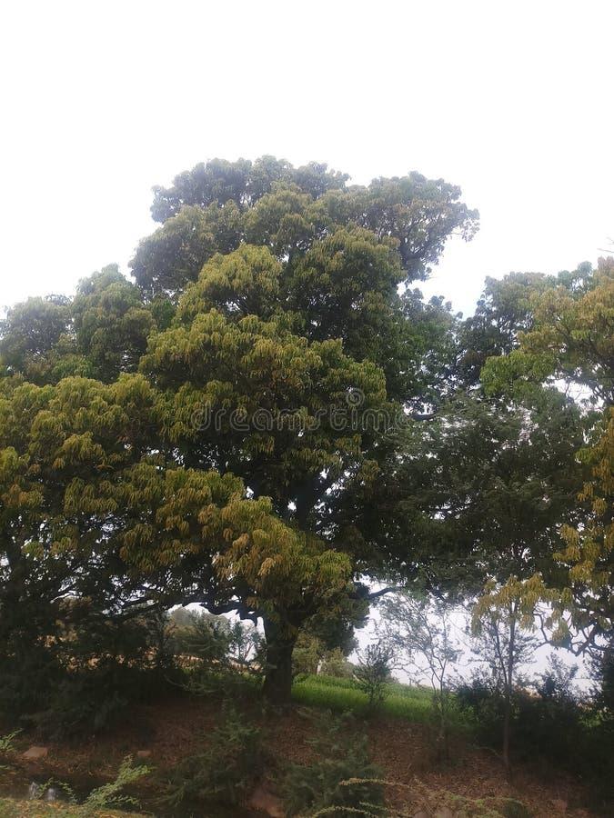 Δέντρο μάγκο στο αγρόκτημα στοκ εικόνα με δικαίωμα ελεύθερης χρήσης
