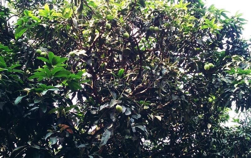 Δέντρο μάγκο φέτος στοκ εικόνες