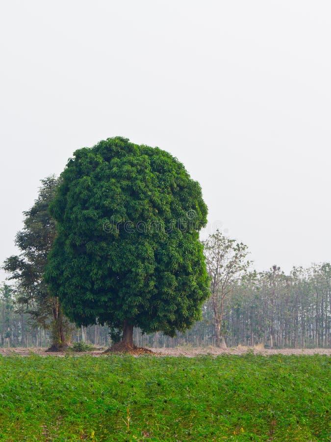 δέντρο μάγκο στοκ φωτογραφίες