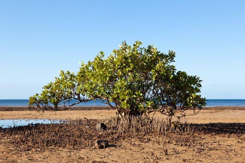 δέντρο μαγγροβίων παραλιώ&n στοκ εικόνες