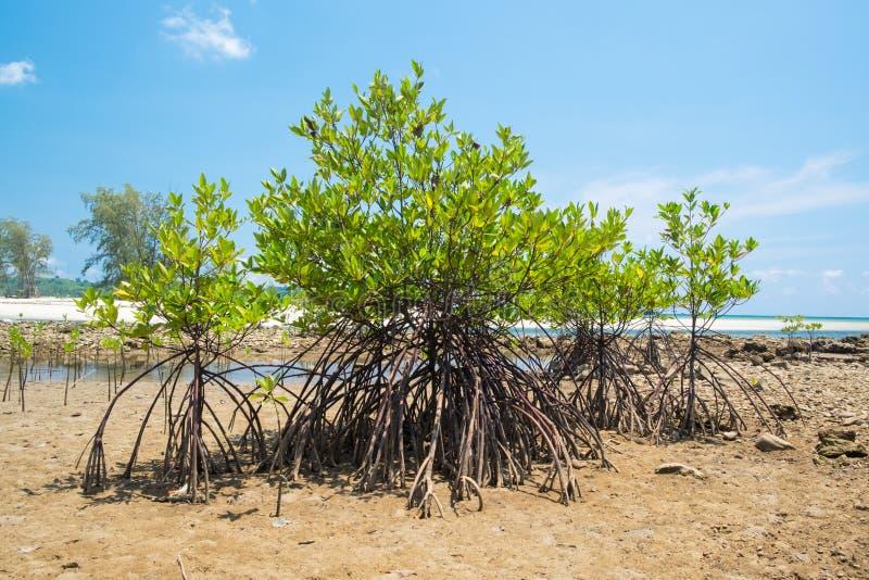 Δέντρο μαγγροβίων στην παραλία θάλασσας ακτών στοκ εικόνες
