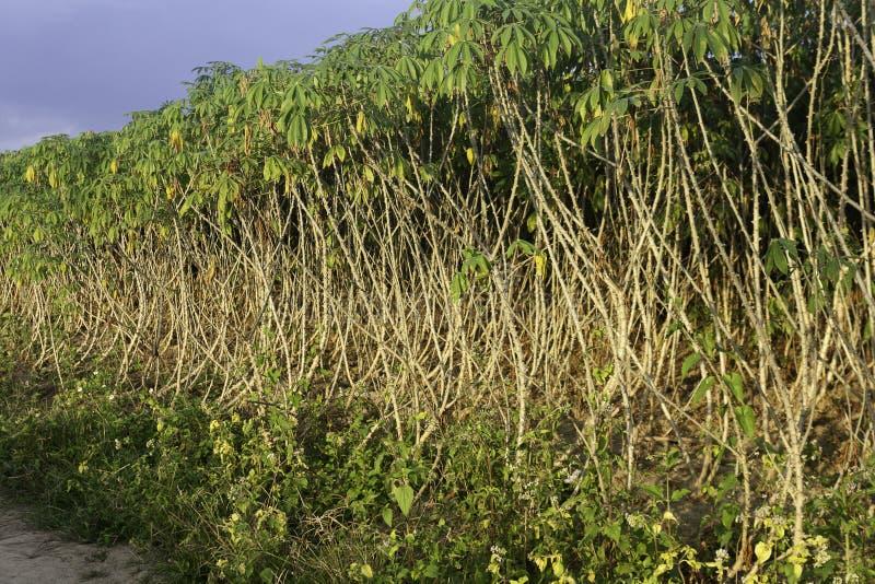 Δέντρο μανιόκων την ημέρα στοκ εικόνες