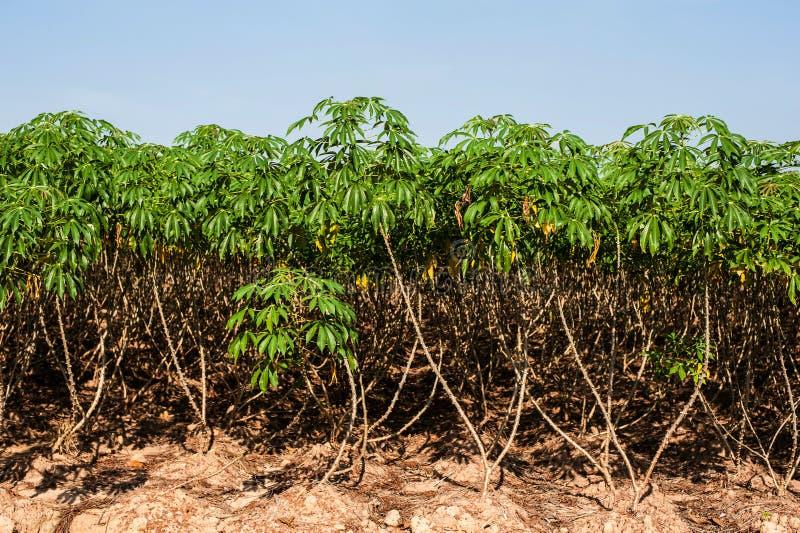 Δέντρο μανιόκων στοκ εικόνες με δικαίωμα ελεύθερης χρήσης