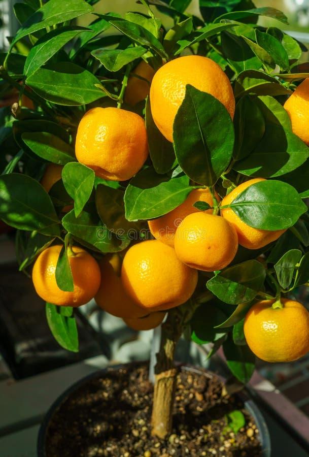 Δέντρο μανταρινιού σε λεοπάρδαλη, μαζί με φρούτα στοκ φωτογραφία με δικαίωμα ελεύθερης χρήσης