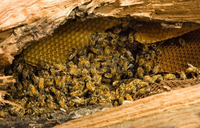 Δέντρο μελισσών μελιού στοκ φωτογραφίες με δικαίωμα ελεύθερης χρήσης