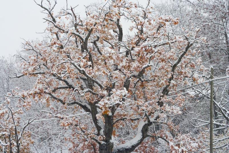 Δέντρο με τα φύλλα και το χιόνι στοκ φωτογραφία