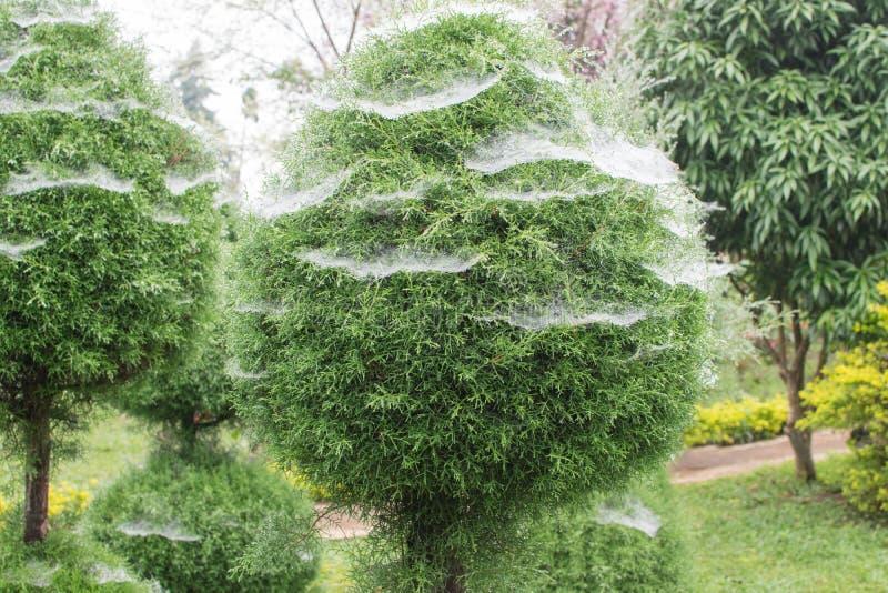 Δέντρο με τον Ιστό αραχνών όταν βρέχει, υπάρχει μια πτώση του νερού στοκ εικόνες