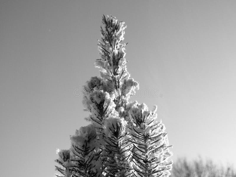Δέντρο με το χιόνι γραπτό στοκ εικόνες