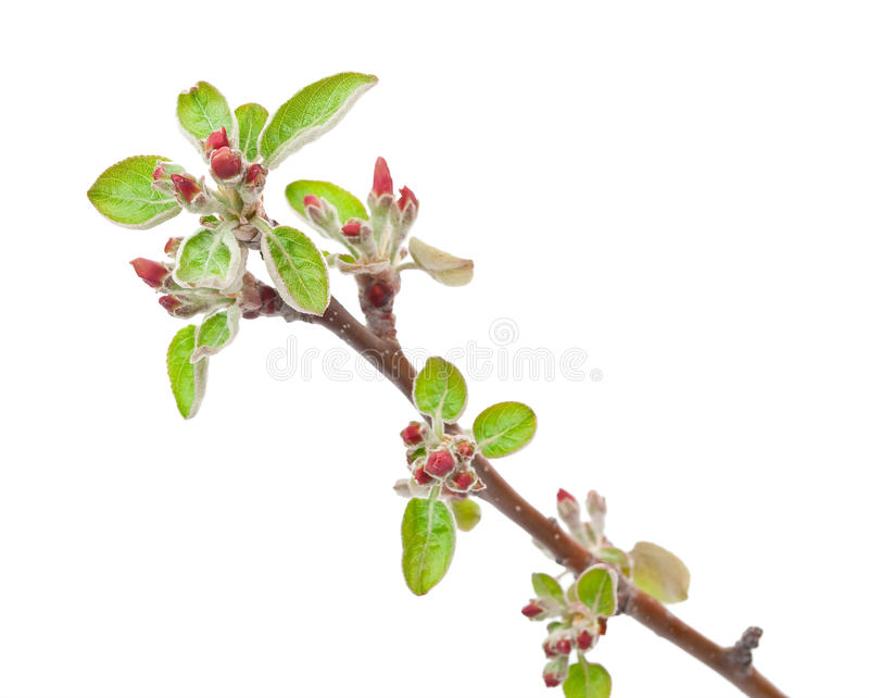 Δέντρο μηλιάς κλάδων με τους οφθαλμούς άνοιξη στοκ εικόνα