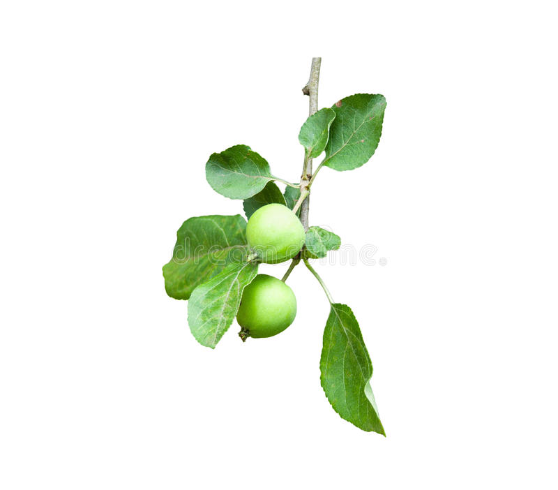Δέντρο μηλιάς κλάδων με δύο μήλα στο λευκό στοκ εικόνα