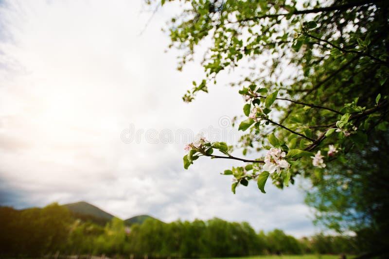 Δέντρο μηλιάς λουλουδιών Bloming στοκ εικόνα